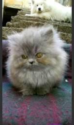 Gata persa Hemalaio filhote