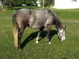 Linda égua Crioula, 4 anos