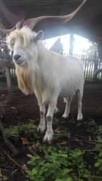 Cabras e cabritos da raça sannen para leite !