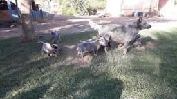 Cachorro burrilho Australiano