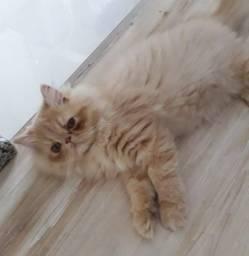 Lindo filhote de gato persa creme macho puro.Entrego em Curitiba e região metropolitana