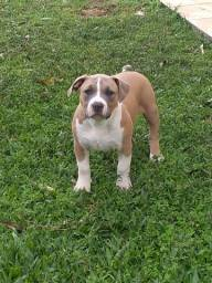 BARBADA! Américan Staffordshire terrier