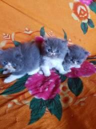 Gatinhos persas