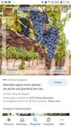 Compro mudas  de uva  niagará
