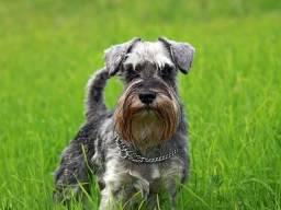 Procuro cachorra da raça Schnawzer