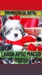 Promoção de Natal! Lhasa Apso macho belíssimo R$899