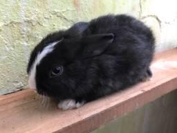Vendo filhote coelho anão