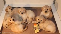 Golden retriever pedigree