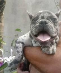 Bulldog Francês Exótico__Blue and tan Merle portador de Choco__Pedigree CBKC