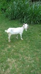 linda cabra