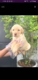 Labrador - garantias em contrato