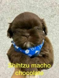 Shihtzu varias cores disponível
