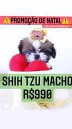 Super promoção imperdível de Natal! Shih Tzu Macho R$990
