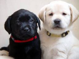 Labradora fêmea e macho disponíveis com garantias