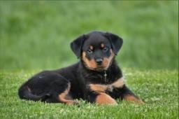 """Rottweiler filhotinhos com pedigree e garantias de saúde!!"""""""
