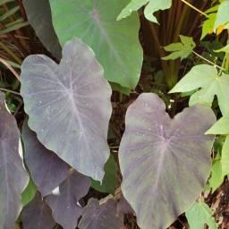 Inhame Roxo /preto, planta para lago 1 muda por R$ 6,00