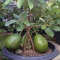 Mudas enxertadas frutíferas abacate manteiga João Pessoa