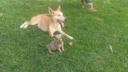 Filhote de Basset com 3 meses