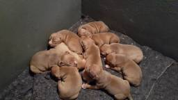 Filhotes de pitmonster disponíveis (pedigree IBC)
