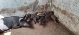 Java porco filhotes