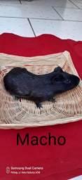 Título do anúncio: Porquinho da Índia