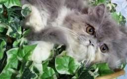 Filhote de gato persa branco com cinza macho puro.Parcelo no cartão.Entrego em Curitiba rg