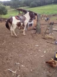 Cavalo pampa 6 anos