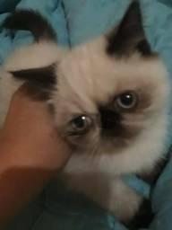 Filhote de gata persa exótica pelo curto femea.Parcelo no cartão.Entrego em Curitiba e rg