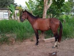 Cavalo manso