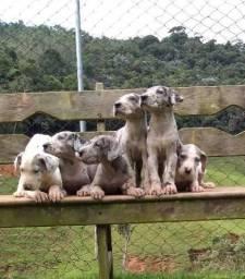 Dogue Alemão//Canil Canaã- RN