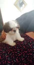 Cachorro Shitzu macho