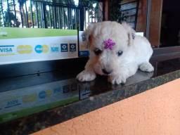 Poodle (R$1.799.00 Fêmeas Brancas Maravilhosas 12xxx
