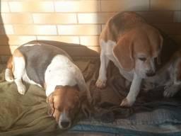 Beagles casal