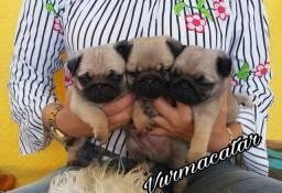 Pugs com pedigree e de ótima linhagem
