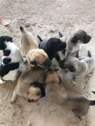 Vendo filhote de cachorro