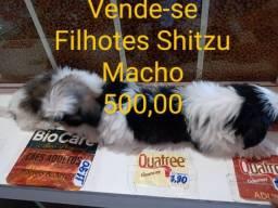 Shitzu macho