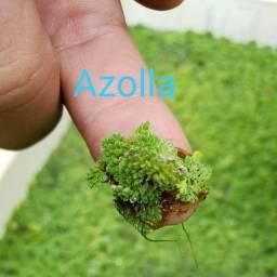 Azolla, planta aquática uma porção de mudas por R$ 10,00