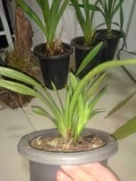Título do anúncio: Orquidea cymbidium dorothy stockfild