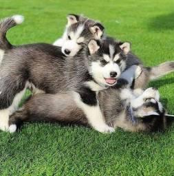 Filhotes de Husky Siberiano Já disponíveis