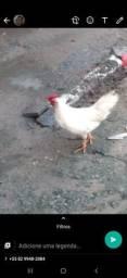Vendo todos,galinhas e galo são raça pequenas, ganizé