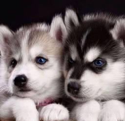 Título do anúncio: Belíssimos filhotes de Husky Siberiano