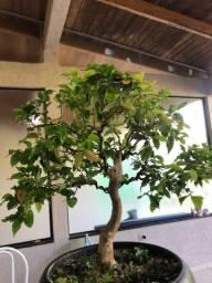Pré bonsai Jaboticaba
