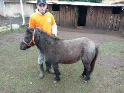 Mini ponei Femea prenha