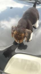 Filhote puro de Beagle