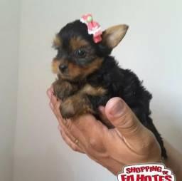 Yorkshire Terrier micro e padrão disponível em loja,