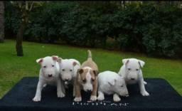 Bull Terrier Inglês, somos a única rede com clinicas vet
