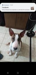 Bull terrier procura namorado