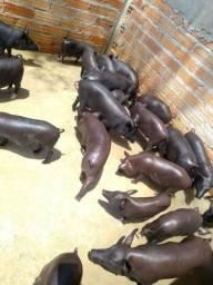 20 porcos, machos e fêmeas preço a combinar