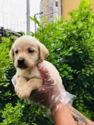 Filhotes de Labrador com Garantias em Contrato