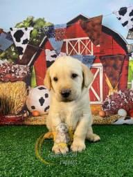 Labrador Perfeitos Filhotes